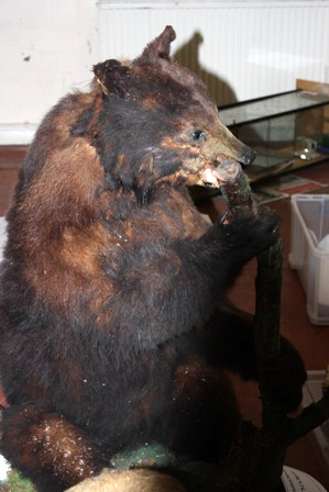 Cuming bear before conservation