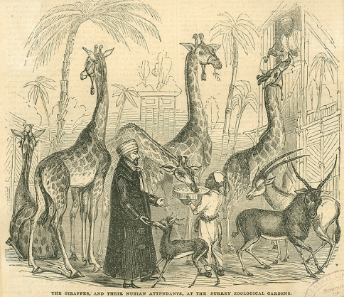 Giraffes and their attendants (P02185)